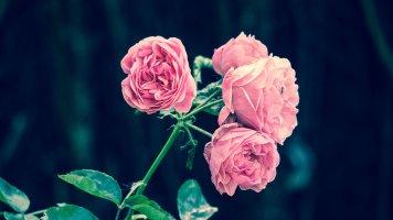 장미꽃사진 모음