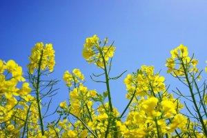 30대 여성 87.4%가 좋아하는 제주 유채꽃 여행!