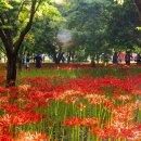 영광 불갑사 꽃무릇, 붉은 꽃무릇 가득한 아름다운 길