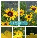 꽃이야기 - 금계국