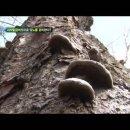 말굽버섯 먹는법 건강에 좋은 천연보약