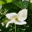 답사길에 만난 산딸나무 꽃