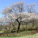 세계 최초 제주도 자생 왕벚나무 전체 유전체 완전히 해독 연구 책임자 문정환...