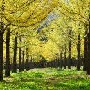 황금비가 내리는 인생샷 여행지 '은행나무 명소 3곳'