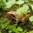 [ 청춘브라더스 ] 북방산 개구리 효능 과 북방산 개구리 정의
