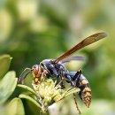 [말벌사진] 말벌(Wasp)사진모음