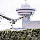 밴쿠버에서 만난 새들 (올빼미, 왜가리, 새매)