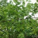 매실나무, 어린 녹색 매실