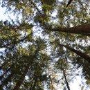 평창여행 :: 오대산 전나무숲