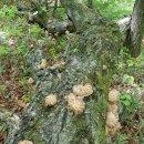 자연산표고버섯,박달상황,개회상황,말굽버섯 판매