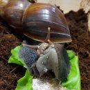 일상 : 달팽이 육아일기 - 달팽이 입, 이빨 관찰 (+하멜른 후기)