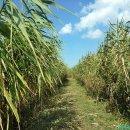 [서천여행] 푸른 갈대의 물결 신성리갈대밭