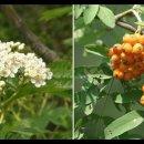 Q. 마가목 열매 마가목열매의 효능