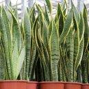 공기정화식물, '산세베리아' 기르는 법