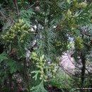 측백나무와 서양측백나무의 비교
