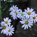 들국화 꽃말 알아보기~
