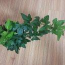 공기정화식물 아이비, 러브체인 키우기